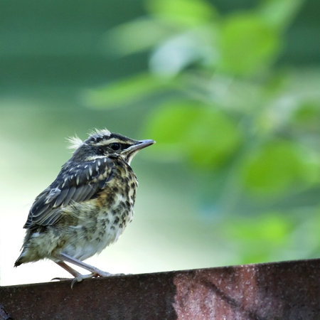 chick of the thrush, Fieldfare sitting there waiting for parents Stock Photo