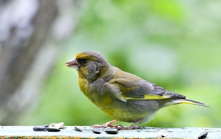 bird greenfinch, with latin name Carduelis chloris, sits on the Board, summer, South Ural Stock Photo
