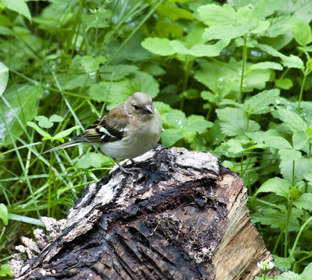 ural: young female Chaffinch sits on the stump, South Ural