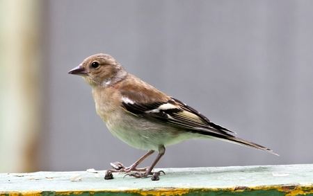 young female Chaffinch sits on the Board, South Ural