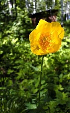 globe flower on a green background, South Ural, the plant with latin name Trollius, listed in the red book