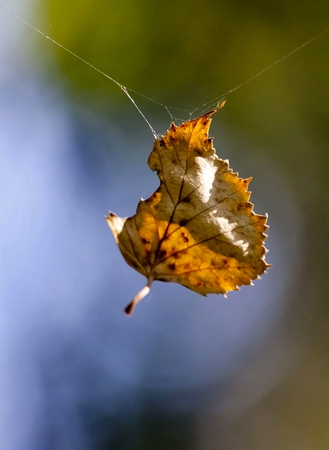 yellow autumn leaf hanging on a spider web on blurred natural background