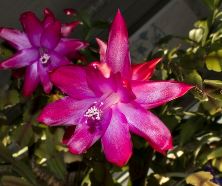 blooming the Christmas cactus, the plant with the Latin name Schlumbergera