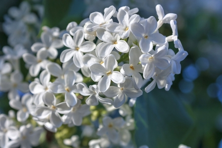 delicate white lilac on blurred nature background, macro Stock Photo