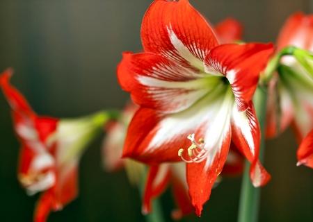 bright red flower Amaryllis, soft focus