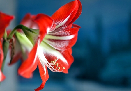 bright red flower Amaryllis, macro, narrow focus area, visible pestle and stamens Stock Photo