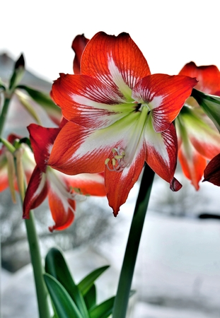 red flower with latin name Amaryllis or Hippeastrum