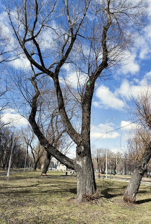 old elm, the tree with latin name ulmus laevis, on blue sky background with clouds in city square