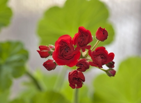 begin to bloom buds of red geranium on a soft green background, flowers resemble small roses, flowers on the windowsill Stock Photo