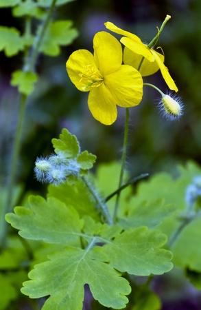 yellow flower celandine