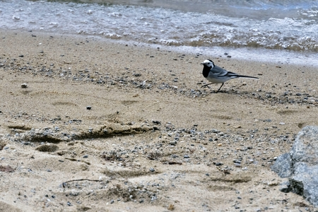 Wagtail on the sandy shore