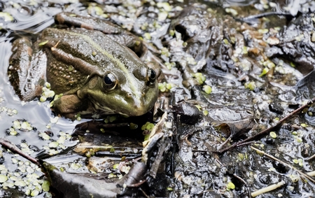 the green frog looks at the photographer Stock Photo