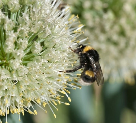 bumblebee collects nectar from a flowering onion