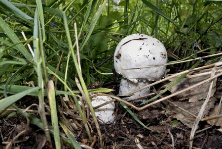 just grown mushroom champignon Stock Photo