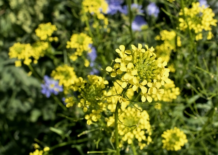Small yellow flowers are weeds and arugula the plant with latin small yellow flowers are weeds and arugula the plant with latin name barbarea stock photo mightylinksfo