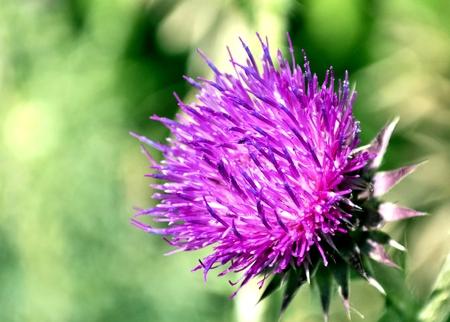 blooms beautiful purple Thistle in bright sunlight