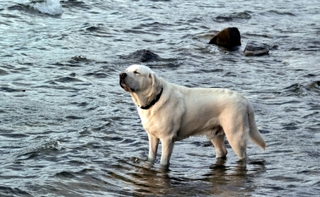 dog white Labrador standing in the water and squinting from the sun