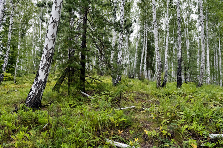 mixed pine and birch forest in summer