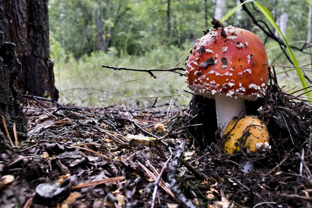 young red mushroom with the Latin name Amanita muscaria grew up in the forest