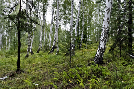 mixed pine and birch forest in summer in dry weather
