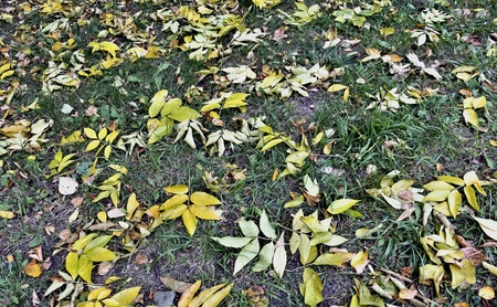 yellow and brown dry autumn leaves randomly lie on the green grass