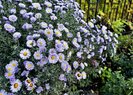 beautiful autumn bouquet of purple flowers with the Latin name Symphyotrichum novi-belgii Imagens