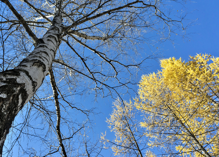 large old birch without leaves in the autumn forest against the blue sky, October, southern Urals, shot from the bottom up