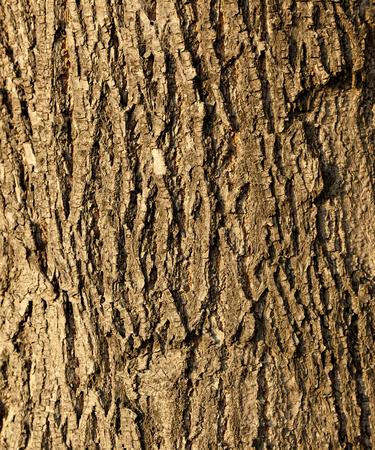texture of the bark of a Linden-lit autumn evening sun