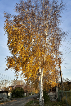 bright autumn birch with yellow leaves against the blue sky in the suburbs 免版税图像