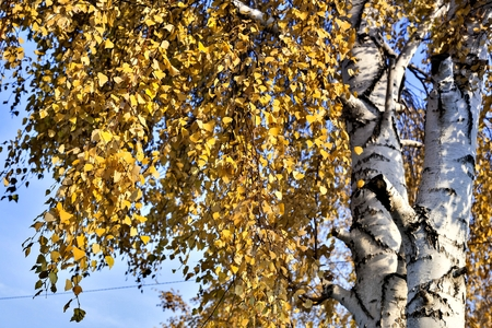 autumn landscape with trees covered with yellow leaves in the suburbs, southern Urals Reklamní fotografie