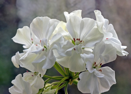 white geranium in a pot blooms on the windowsill