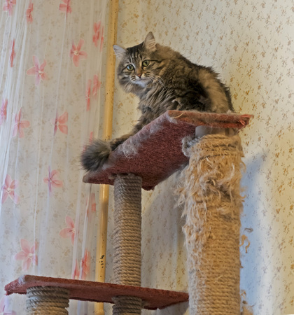Siberian cat sitting on the shelf of the game house for cats