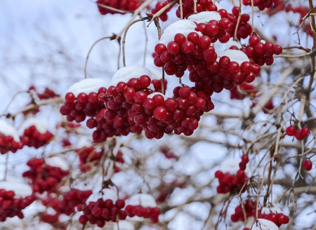 viburnum berries covered with the first snow