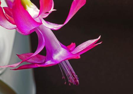 Christmas cactus flower with Latin name Schlumbergera, macro Stock Photo