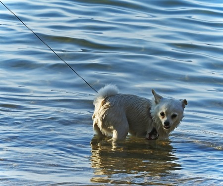 little white wet dog on a leash standing in the lake
