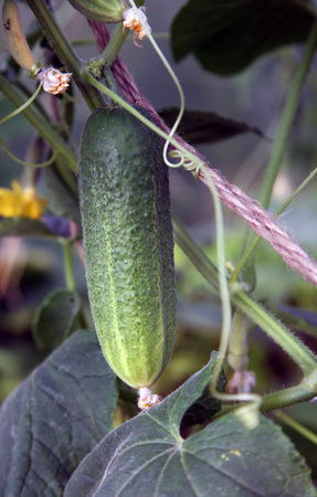 ripe green cucumber on a branch in a greenhouse Banco de Imagens