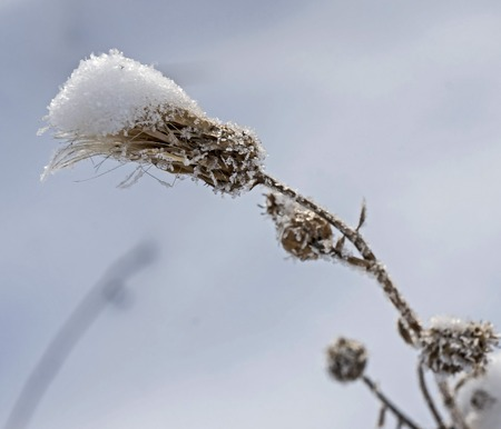 fluffy weed plant covered with ice crystals like sugar grains against the blurred nature landscape