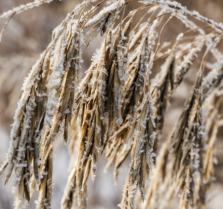 fluffy ear of a weed plant covered with ice crystals like sugar grains against the blurred nature landscape Banco de Imagens