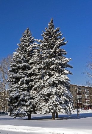 large snow-covered fir trees in the city