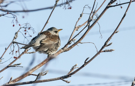 young mountain ash thrush
