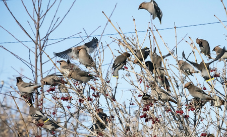 flock of waxwings on the branches of viburnum in winter Banco de Imagens