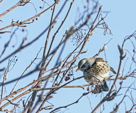 Fieldfare thrush sitting on a branch of Rowan Banco de Imagens