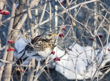 Fieldfare sitting on a Bush with berries of viburnum in the winter