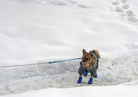 Chihuahua dog in winter clothes