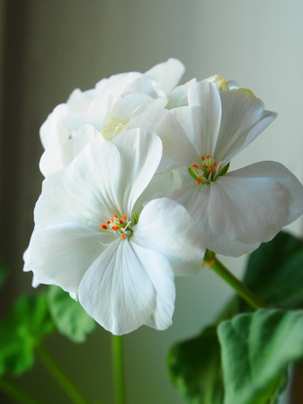 white geranium in a pot, narrow focus area
