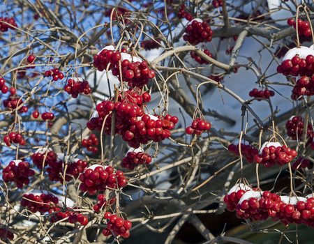 bright red berries of viburnum covered with the fresh snow in the early morning