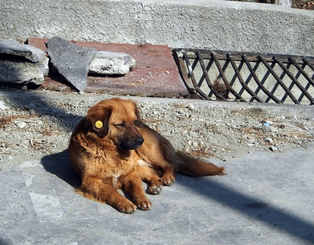 red dog basking in the sun, in the ear of a dog chip for animals 版權商用圖片 - 119567828