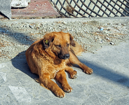 red dog basking in the sun, in the ear of a dog chip for animals