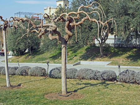 spreading southern tree with curved arch branches without leaves in the spring Stock fotó