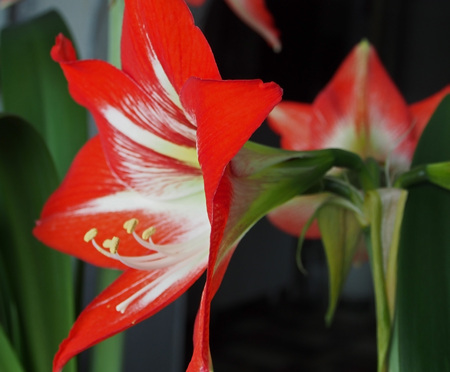 red flower with Latin name Hippeastrum blooms on the windowsill Banco de Imagens